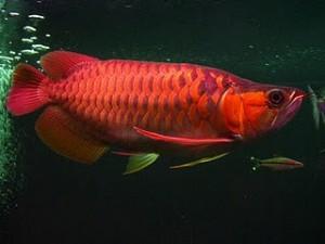 Tips Sukses Usaha Budidaya Ikan Arwana
