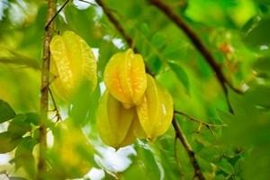 Tips Budidaya Buah Belimbing