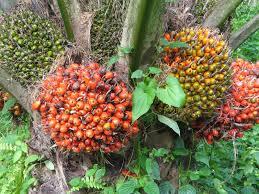 usaha kelapa sawit