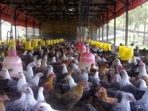 usaha ternak ayam kampung