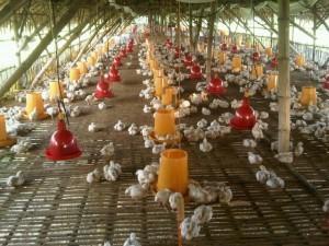 Hal Terpenting Agar Usaha Ternak Ayam Tetap Menguntungkan