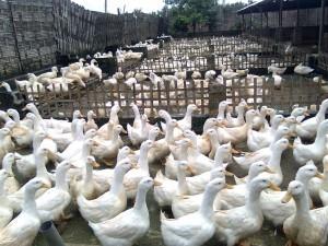 3 Peluang Menjanjikan Dari Beternak Bebek