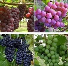 Tips Diet Sehat dengan Buah Anggur